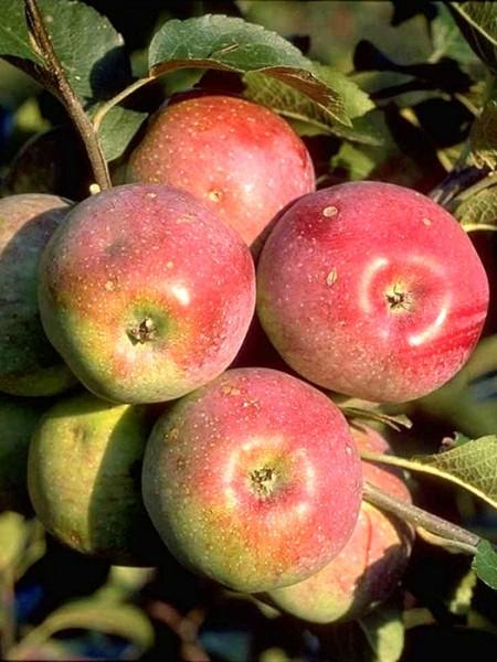 Apple Florina